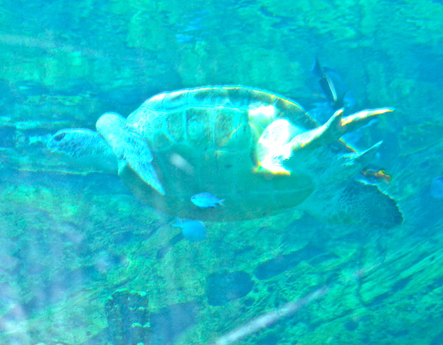 Sea World Orlando Florida - Sea Turtle