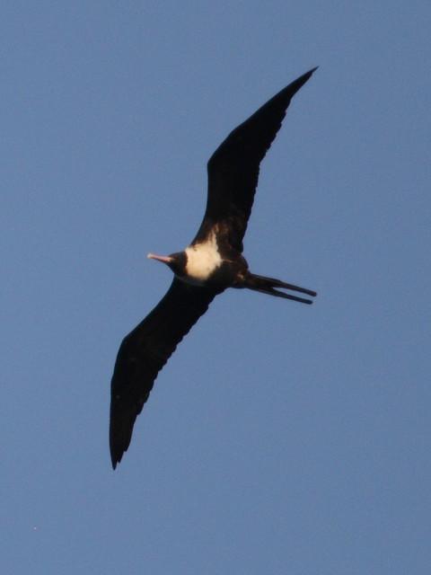 Lesser frigatebird female