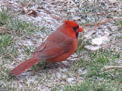 Northern Cardinal ~ He waits in the snow