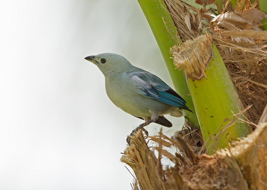 Blue-Grey Tanager 2014-01-30