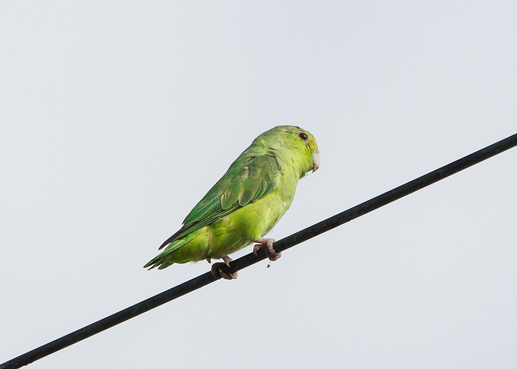 Green-rumped Parrotlet 2014-01-25 (1)