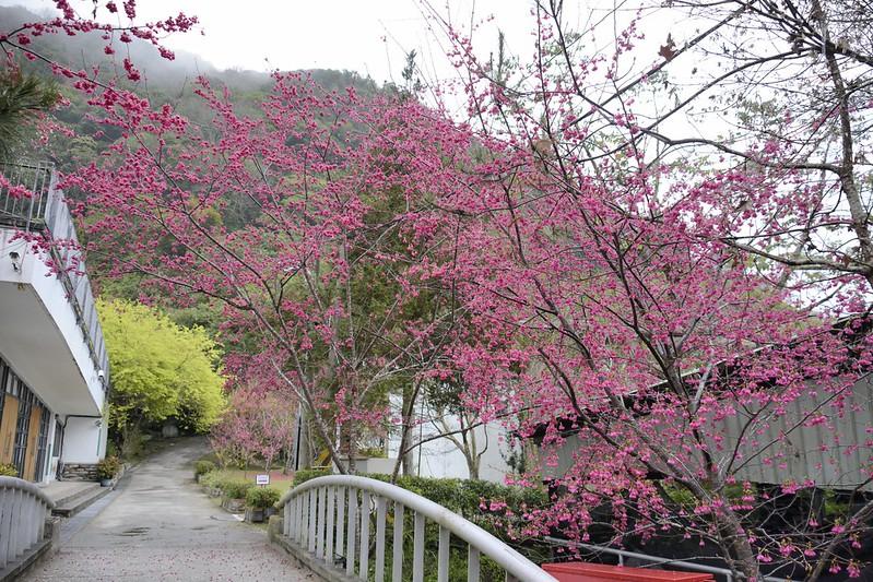 西寶國民小學的山櫻花