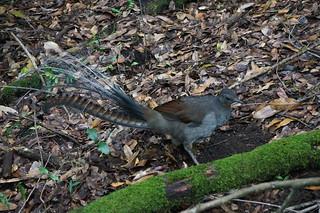 A Lyrebird foraging for food
