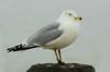 Soft Gull by hpaich
