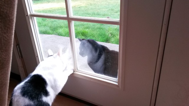 Neighbor cat Janet likes to taunt Steve