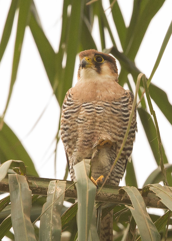 Red-necked Falcon Gambia