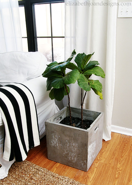 Planter Fiddle Leaf Fig