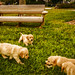 Golden puppies last time together... by Sherry Galey