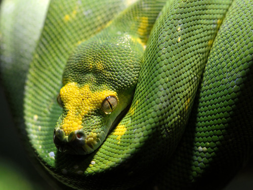 bronxzoo snakes reptiles zoos greentreepython reptilehouse wildlifeconservationsociety moreliaviridis