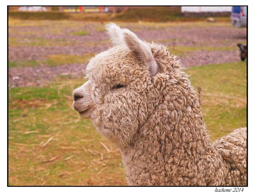 voyage alpaca animal animaldomestique
