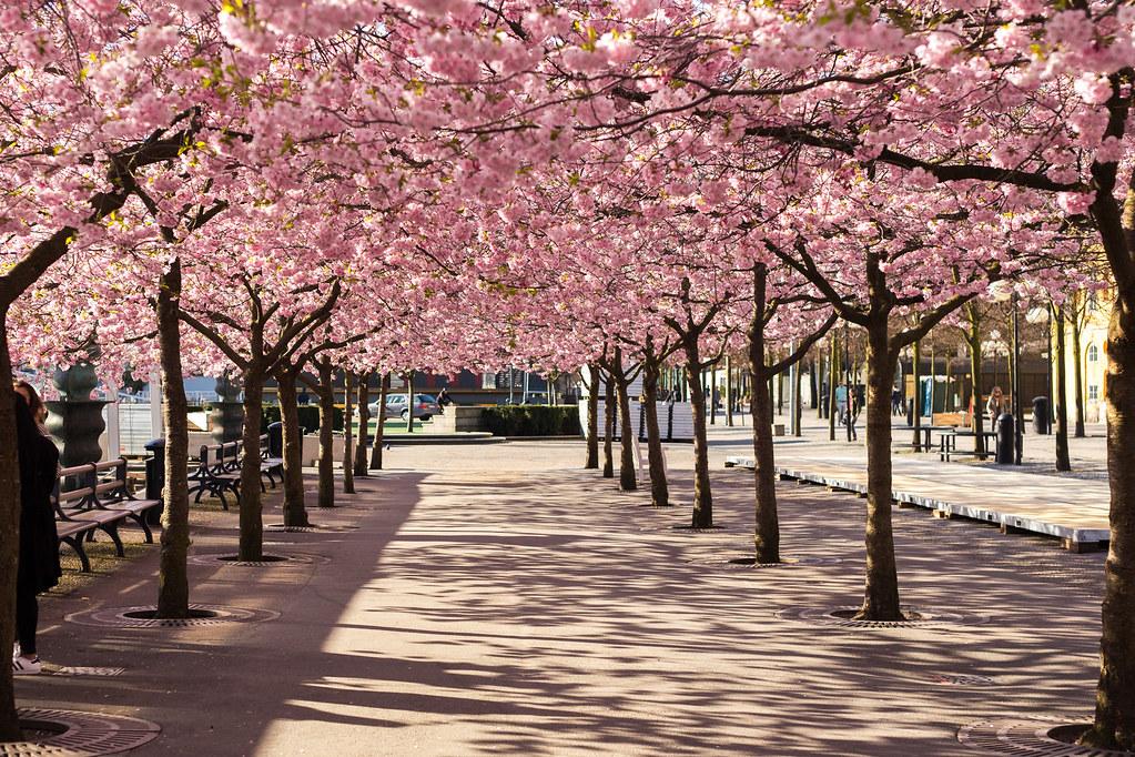 Cherryblossom in Kungsträdgården