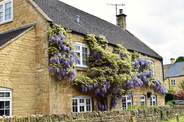 Can't get enough of the wisteria!