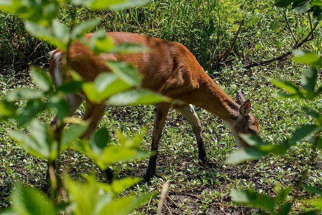Nearby Deer