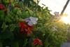 Aunt Hazel's flower garden