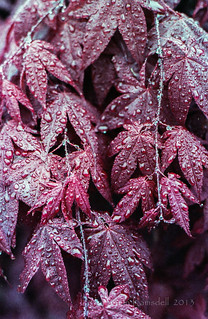 Japanese Maples in Rain