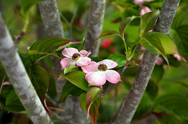 pink dogwood1