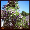 The wisteria in our backyard has popped nicely. Purple everywhere!