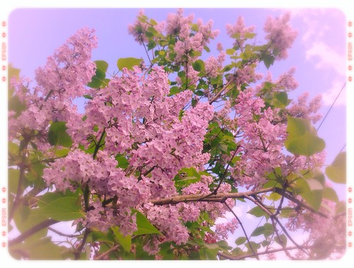 Even more lilacs
