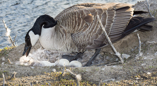 Goose, Canada Goose, Nest, Eggs, Wildlife