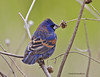 Blue Grosbeak IMG_0309edtsg
