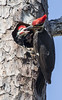 Pileated Woodpecker feeding chicks