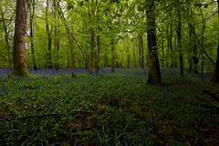 Bluebells in Grove Wood