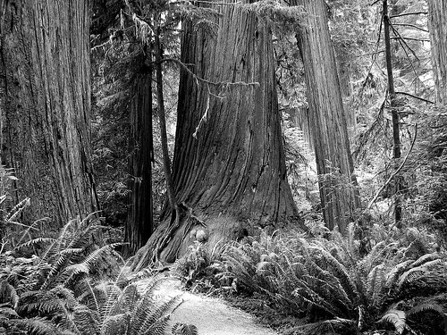 blackandwhite bw monochrome redwoods