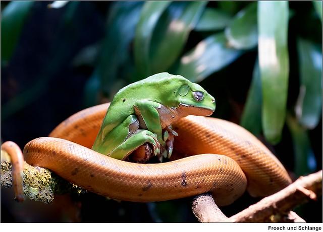 gr ner frosch mit schlange green frog with snake. Black Bedroom Furniture Sets. Home Design Ideas