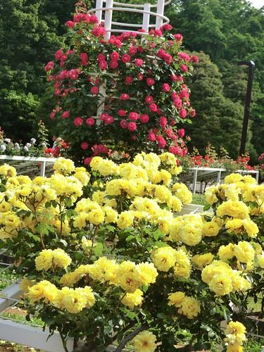 むせかえるように咲くバラ