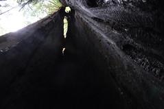 Burnt Out Tree, Redwood National Park