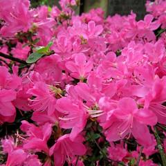 annual plant, flower, flora, pink, petal, azalea,