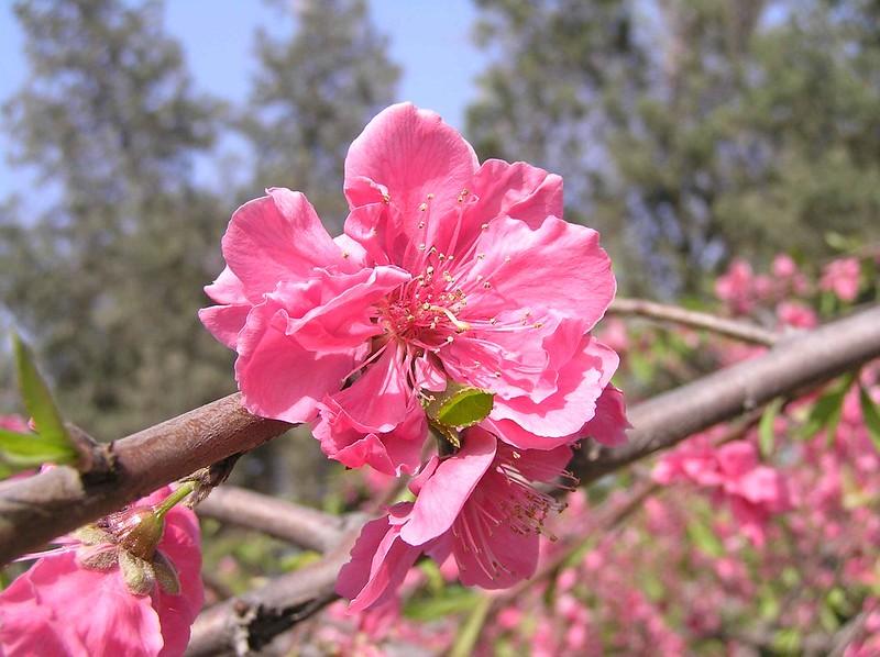 碧桃 Prunus persica v rubro-plena [鄭州紫荊山公園 Zhengzhou, China]