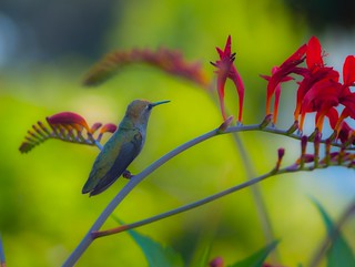 Hummingbird and Crocosmia