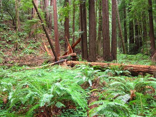 Muir Woods, Coastal Redwoods, green, ferns IMG_5029