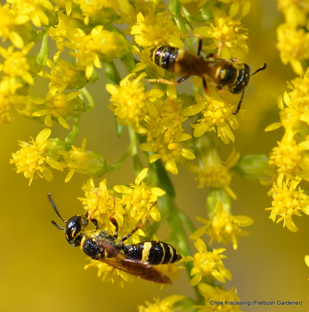 /Philanthus gibbosus/, Beewolf, on /Solidago/, Goldenrod