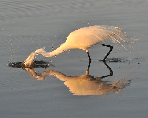 nature birds greategret egrets shorebirds marcoisland tigertail floridabirds tigertailbeach