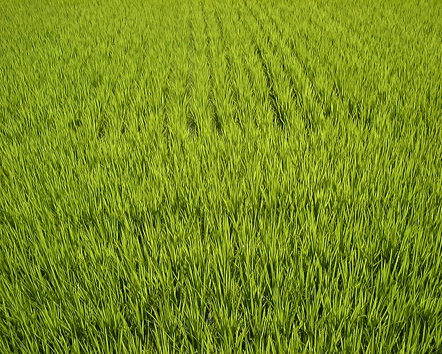 Fresh rice plants in Hokuriku.