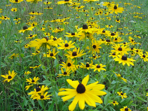 Black Eye Susans by Michelle Loglisci