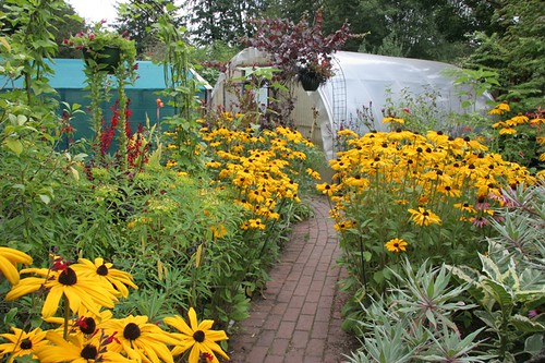 Rudbeckias still going strong