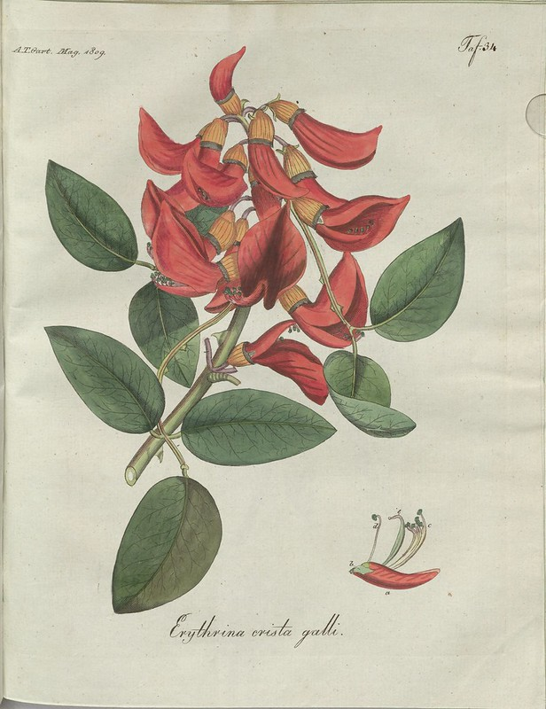 Erythrina crista galli (hand-coloured botanical engraving courtesy kulturerbe niedersachsen)