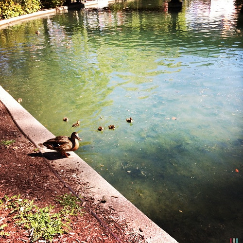 Mama and baby ducks.