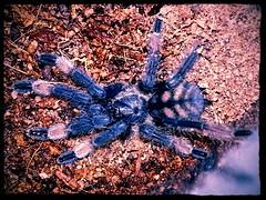 Kraken -P. irminia