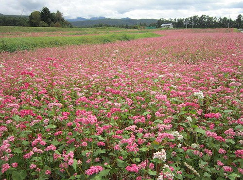 赤蕎麦の花 2013年10月10日11:43 by Poran111