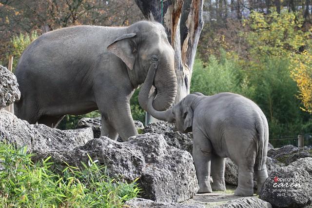 Asiatische elefanten Mangala&Ludwig 2013_10_30 033