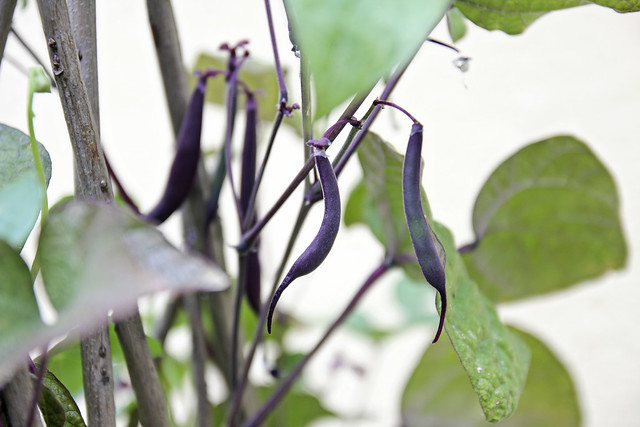 heirloom purple beans
