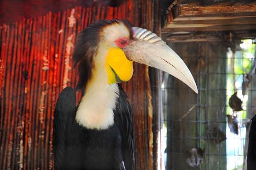 Bright Hornbill
