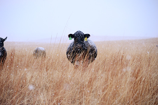 Snowy, Snowy Cattle