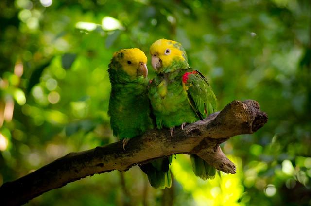 Yellow-headed Amazons
