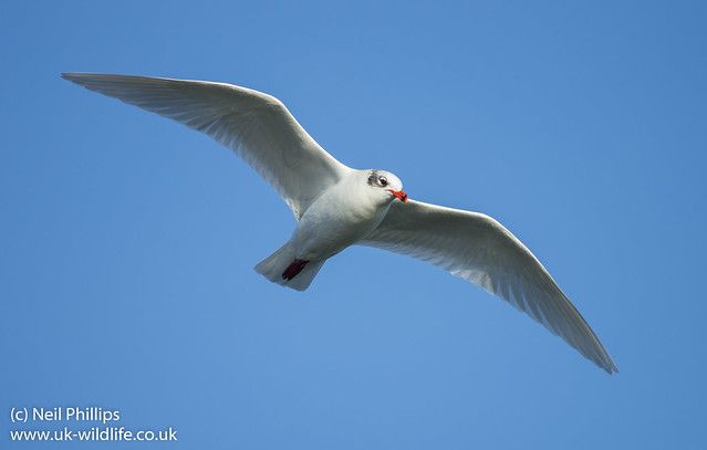 mediterreanean gull in flight best