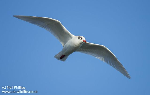 mediterreanean gull in flight best